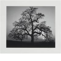 oak tree, sunset city sierra foothills, california [1962] by ansel adams